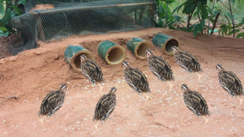 机智农民小伙制作捕鸟陷阱,大鸟纷纷往里钻,开眼界了