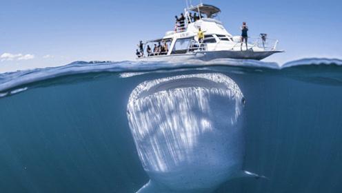 世界上最大的鱼类,要不是被人捉到,估计都没机会见识到!