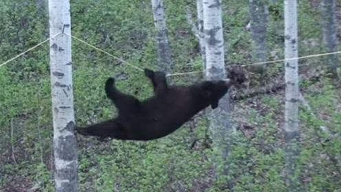 黑熊那么胖能爬树吗?看见这一幕才明白,原来是我们低估它了