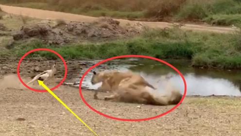 狮子偷袭羚羊,不料跑得太快没刹住,镜头记录尴尬过程
