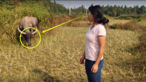 农村姑娘田间逗牛,下一秒被牛追的到处跑,看完笑出眼泪