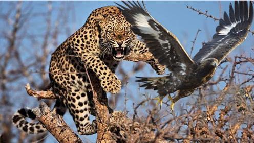 花豹在树上捕食老鹰得手,正得意忘形时,悲剧的事情发生了