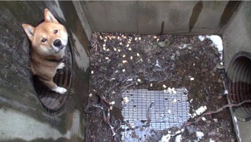 小狗被困下水道,人们帮它们脱离困境,网友:为你点赞