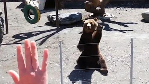 棕熊坐在地上面对游客 抬起左爪挥手示意