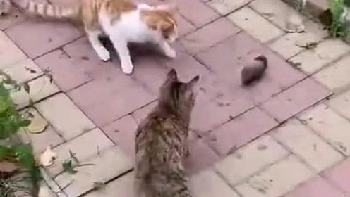 三猫斗鼠战况异常惨烈,老鼠已经被吓的瑟瑟发抖,都不敢走路了!