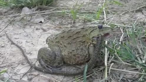 """地球表面最""""凶残""""青蛙,能吞掉一米长的毒蛇,捕猎方式尤为新奇!"""
