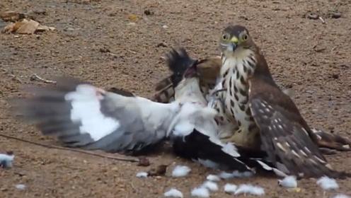 喜鹊招惹老鹰,被按在地上啄毛,老鹰:你叫破喉咙也没用!