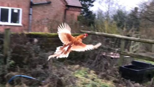 男子说自己家的鸡会飞,就像是一只鸟,刚开始大家还不相信!