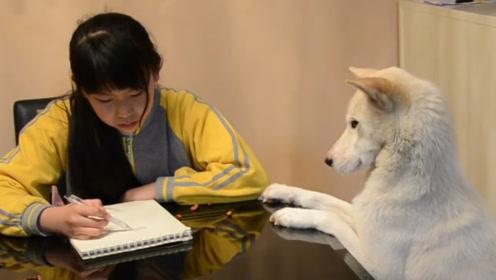 狗子每天守着小主人做作业,为她的学习操碎了心,狗生太不容易了