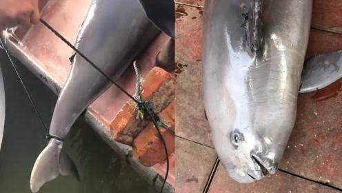 洞庭湖遇害江豚尸检报告:系误撞入渔网窒息而死 渔民怕担责绑砖沉尸