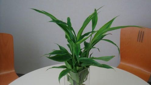 往水培富贵竹里面加点东西,叶绿的滴油,茂盛又能开花