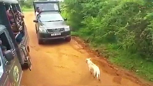 游客在动物园遇到一只狗挡道,下一秒惊呼出声,这豹子太凶猛了吧!