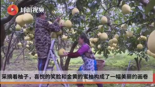 科技助增收 柚见果农笑 国贫古蔺县的蜜柚进入采摘期