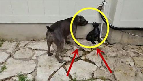 大狗欺小狗,被按在角落里摩擦,一动不敢动!