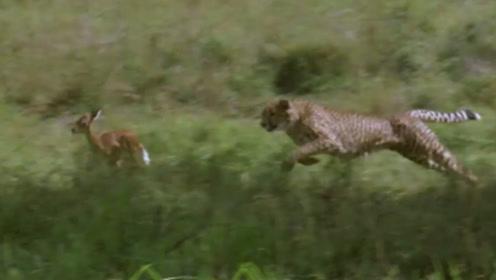 两只猎豹将一只小羚羊锁定为狩猎目标,合作围攻成功捕获猎物