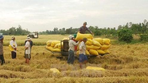 印度人自己都吃不饱,为何还要出口大米,成为第一大米出口国?