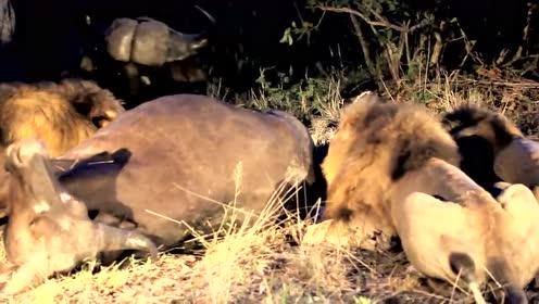 牛妈妈眼睁睁的看着狮群吃自己的孩子却无能为力,只能徘徊在旁边含泪看着