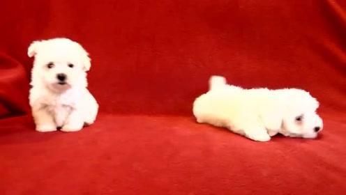 两只非常可爱的小奶狗,假装很凶其实很萌的