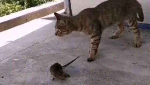 这老鼠还想和猫咪过几招,几招之后彻底老实了吧!