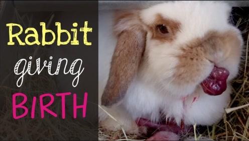 为什么有些兔妈妈会把刚出生的兔子咬死?听完还真是不寒而栗