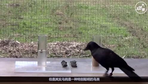 世界上最贱的鸟,被称为鸟中哈士奇,动不动就想皮一下!