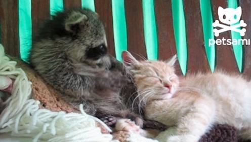千万别让浣熊撸到猫,不然真的会尴尬,太搞笑了