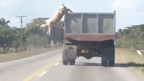 """一头会功夫的猪,车顶""""越狱""""秀操作,结果猪算不如天算!"""