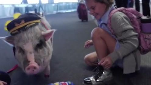 """治愈你了吗?世界首只机场""""治疗猪""""上岗 涂红色指甲油还爱自拍"""