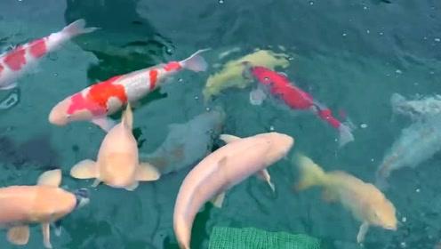 土豪家养了一群名贵大锦鲤,看着它们嬉戏追逐,瞬间让人心动起来