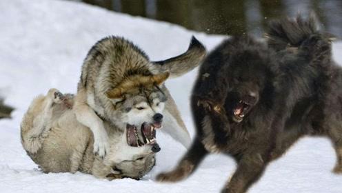野狼闯入藏獒领地,以一敌六大战藏獒,镜头记录精彩全过程