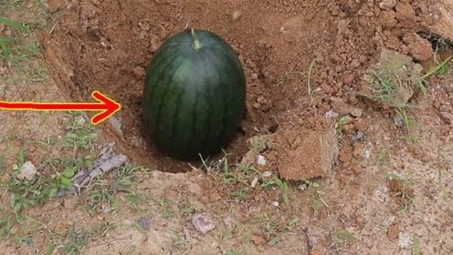 将西瓜埋进地下一个月,最后会变成什么样?网友:意料之中的结局