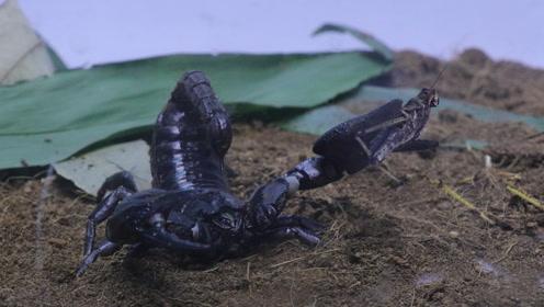 蝎子VS蝗虫,蝗虫非但不怕居然还踩到了蝎子的头上!