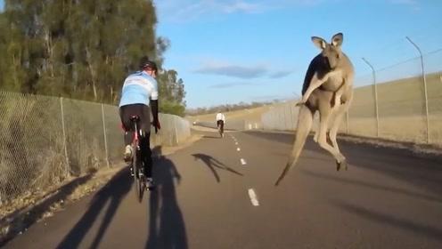 """男子骑自行车出游,路边的袋鼠""""飞来一脚"""",直接把男子蹬飞了?"""