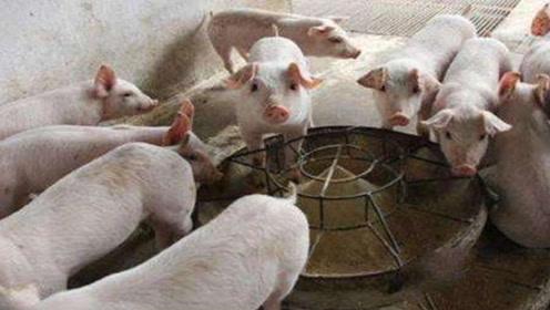 猪饲料里加几样小东西,猪就会长得又肥又膘,出栏快,一年省很多钱