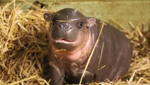 河马界颜值担当,日本动物园的小河马,竟然会吐舌头卖萌