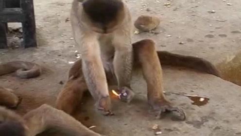 游客扔给猴子一个打火机,猴子玩火机把毛烧黑了,镜头记录全过程