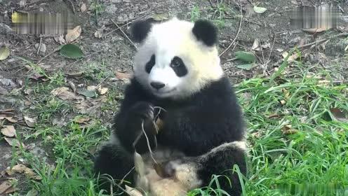 熊猫宝宝怎么了 饿得吃起树叶来了!