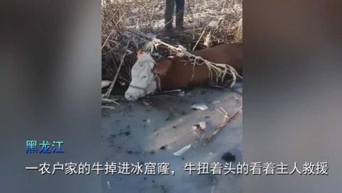 黑龙江一头牛掉进冰窟窿,直接被冻在冰面上,淡定看着主人施救