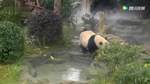 熊猫妈妈不让宝宝出去玩!熊猫宝宝偏不听!这下悲剧了!