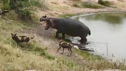 河马正在洗澡,没想到被一群野狗盯上了,这下有好戏看了