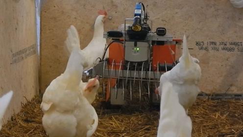 国外养殖场的黑科技真多,养鸡还配专门捡蛋的机器人,一起见识下