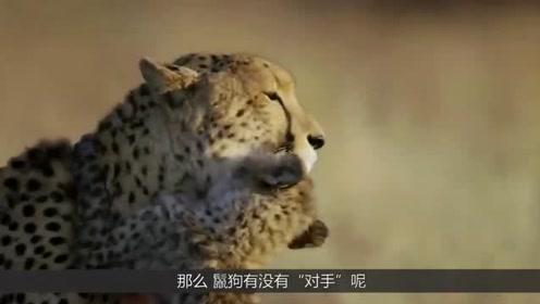 在草原上让狮子惧怕三分的鬣狗到底有没有对手呢