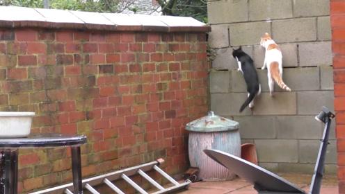 橘猫和黑猫同步翻墙,动作完全同步,镜头记录全部过程