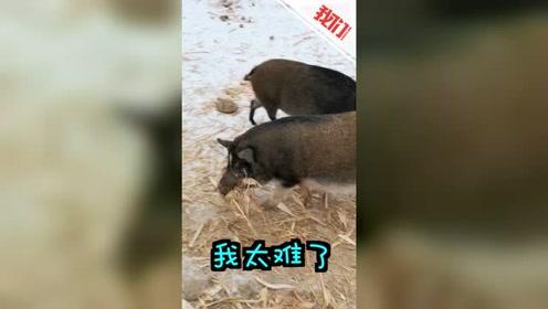 """东北的猪怎么过冬:5只""""猪坚强""""有家不能回 叼草筑窝度雪夜"""