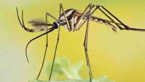 东南亚的超巨大蚊子,却为了人类攻击同类