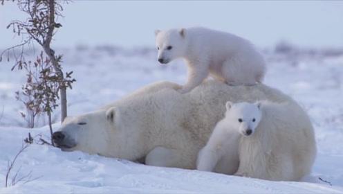 刚出生的小北极熊有多萌?躺在妈妈怀里撒娇,网友:太可爱了!