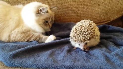 猫和刺猬打架,朝着刺猬就是一巴掌,然后猫的反应笑的我肚子疼