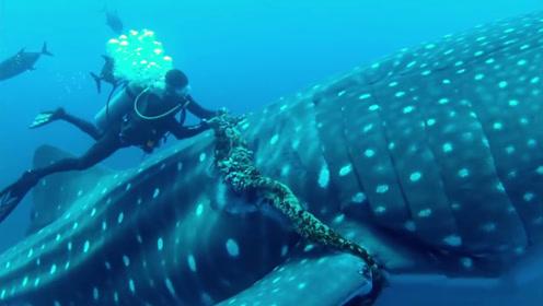 巨大的鲸鲨被绳子缠住,潜水员冒死去解救,镜头拍下全过程