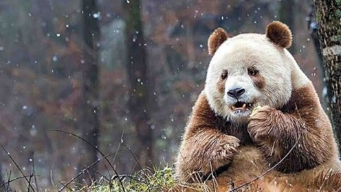 活久见!国宝大熊猫被认养 认养人将享有探视权