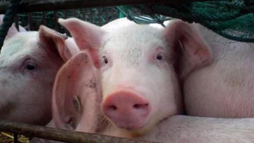 多省累计发放猪肉临时补贴55.1亿 春节餐桌能吃上猪肉吗?